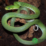 Gonyosoma prasina - grøn rottesnog